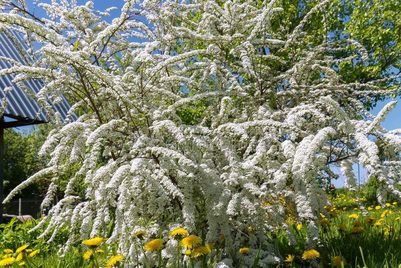 Spirea di fioritura generoso grigio nel giardino Grandi spazzole dei fiori bianchi dello spirea e dei denti di leone gialli Sorge fotografia stock libera da diritti