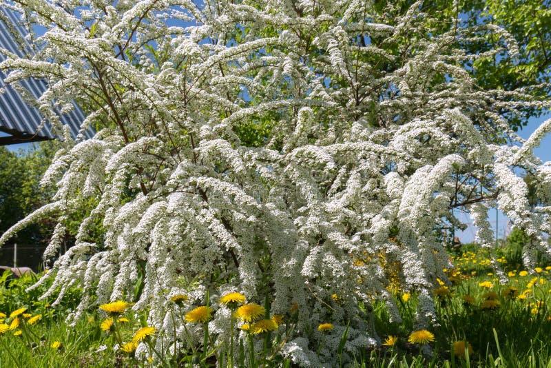 Spirea di fioritura generoso grigio nel giardino Grandi spazzole dei fiori bianchi dello spirea e dei denti di leone gialli Sorge fotografia stock