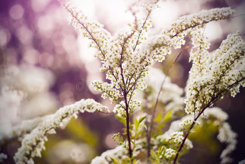 Spirea för vita blommor på filialerna av att blomma i solig vår royaltyfria foton