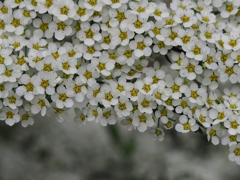 Spirea gris con las flores blancas fotografía de archivo libre de regalías