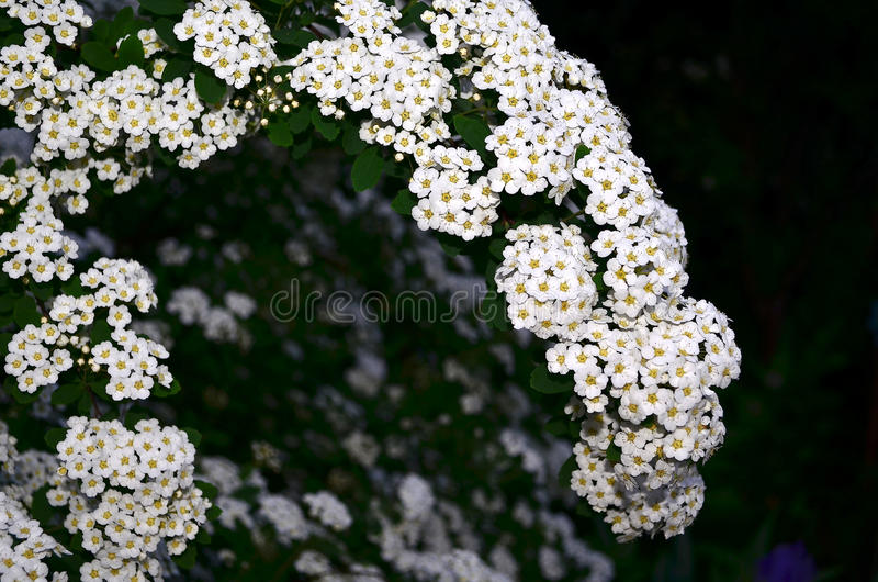 Spirea. Perennial shrub with woody branches, belongs to the family Rosaceae. Flowers in spring, the white spiraea and collected in umbellate inflorescences. In stock photo