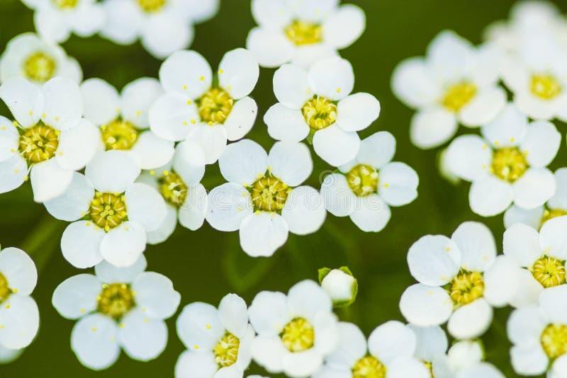 Spirea-thumbergii Frühlingsblume lizenzfreies stockbild