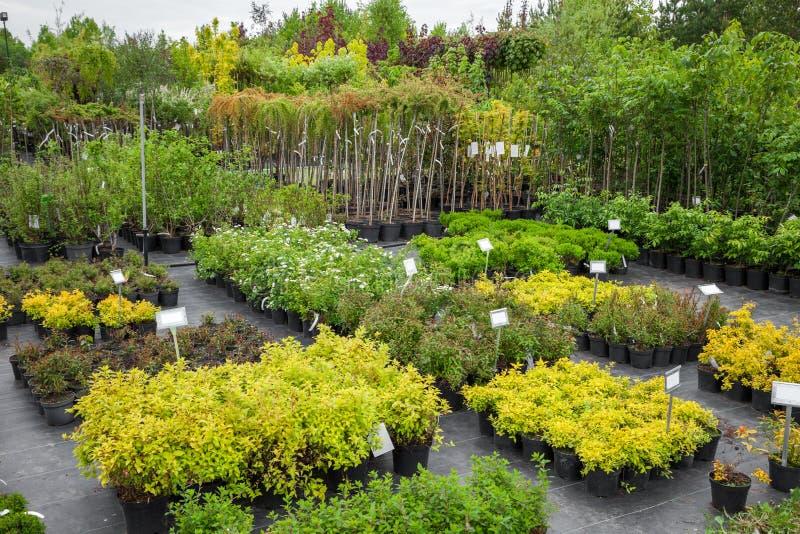 Spirea växter i plast- krukor, planta av träd på växtbarnkammaren royaltyfria bilder