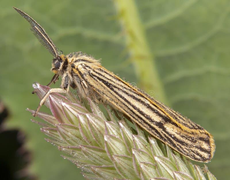 Spiris-striata M?nnliche Motte Arctiinae, die auf gr?nem Blatt mit gro?en Antennen aufwirft stockbilder