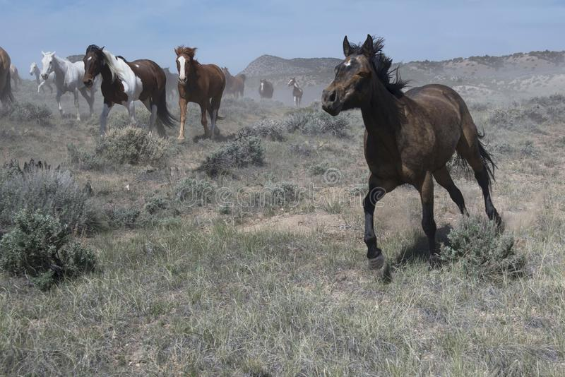 Spirited black horse running at a gallop ahead of the herd stock photo