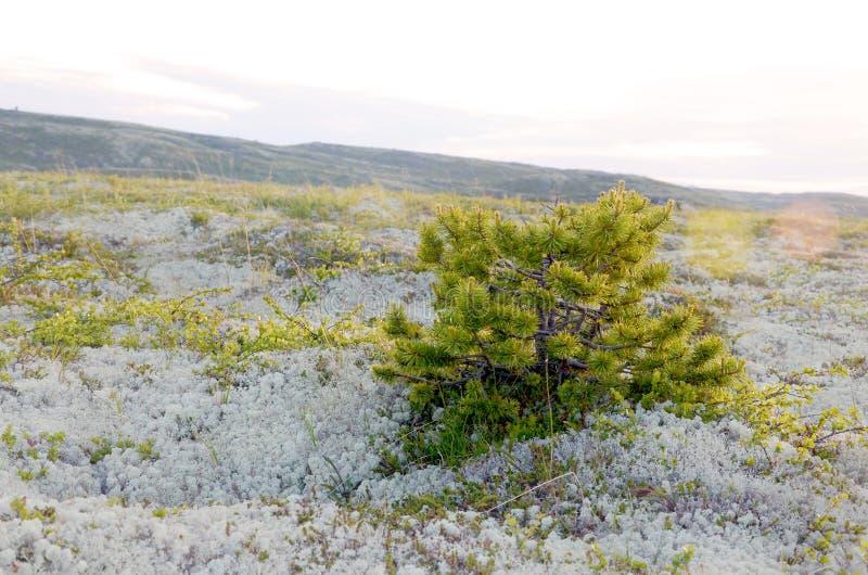 Spirke in der arktischen Tundra stockfotografie