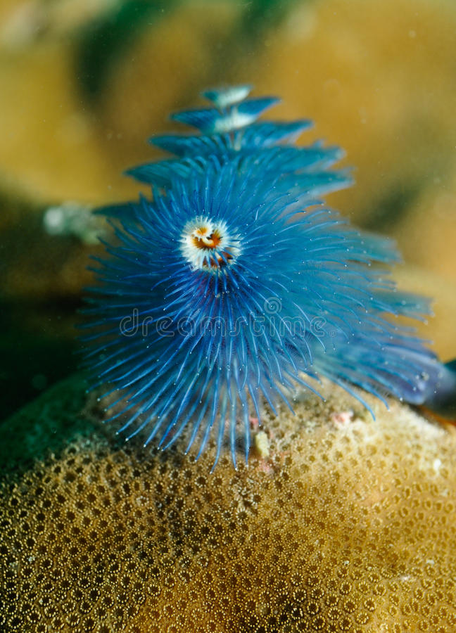 Download Spirobranchus Giganteus, Christmas Tree Worm Stock Image - Image: 12618753