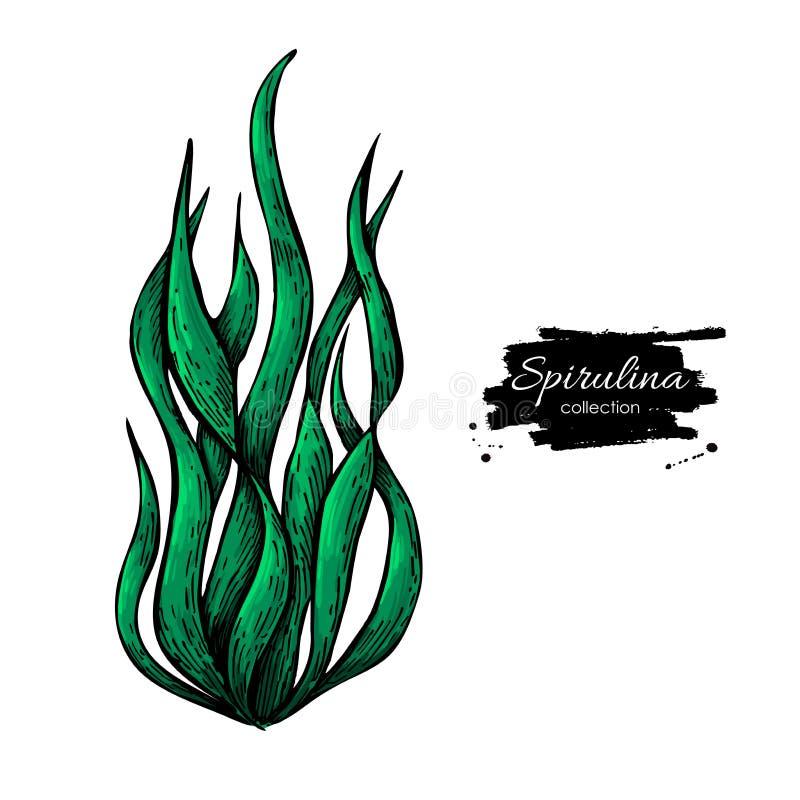 Spirulina海草粉末手拉的传染媒介例证 在白色背景的被隔绝的Spirulina海藻 皇族释放例证