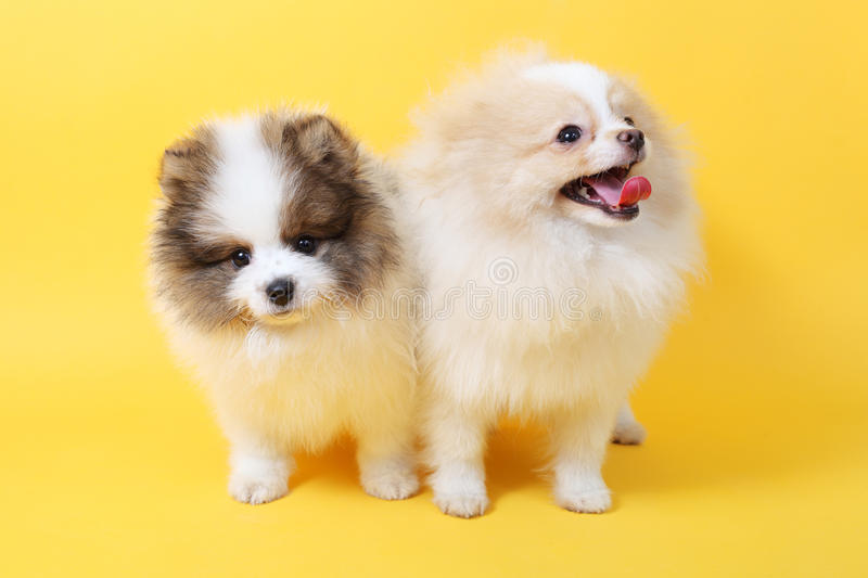 Spits puppies royalty free stock photography