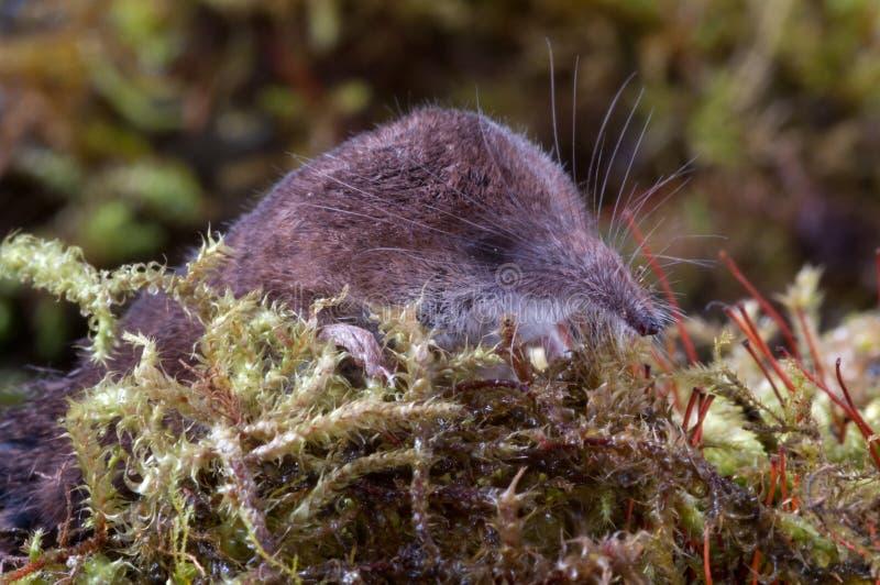 Spitsmuis binnen onder het mos stock foto's