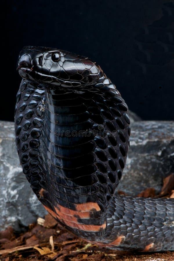 Free Spitting Cobra Royalty Free Stock Images - 19851289
