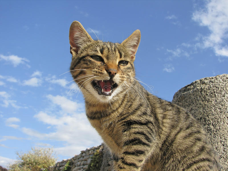 Spitting Domestic Cat (housecat) On A Wall Stock Photo