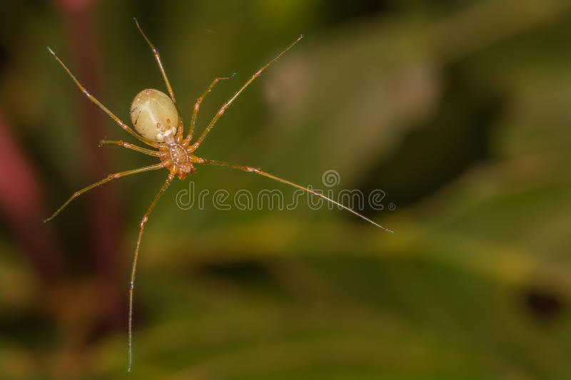 Spitting Spider stock image