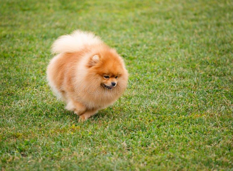 Spitz περπάτημα σκυλιών στοκ φωτογραφίες