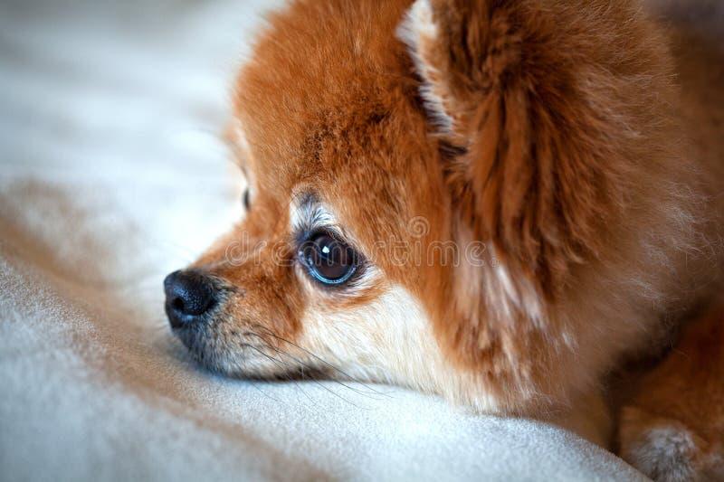 Spitz σκυλιών της Pet στενό επάνω εξετάζοντας την απόσταση στοκ εικόνα
