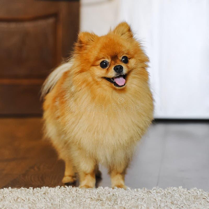 spitz собаки pomeranian стоковые изображения rf