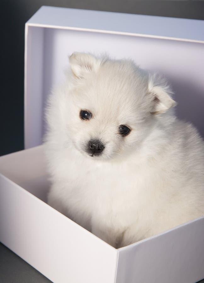 spitz allemand blanc de chiot dans un bo tier blanc photo. Black Bedroom Furniture Sets. Home Design Ideas