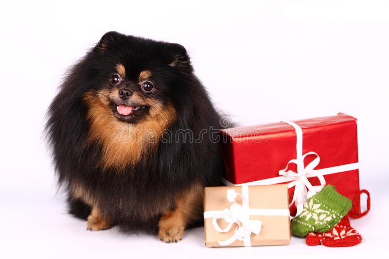 Spitz-chien dans le studio sur le blanc photos stock