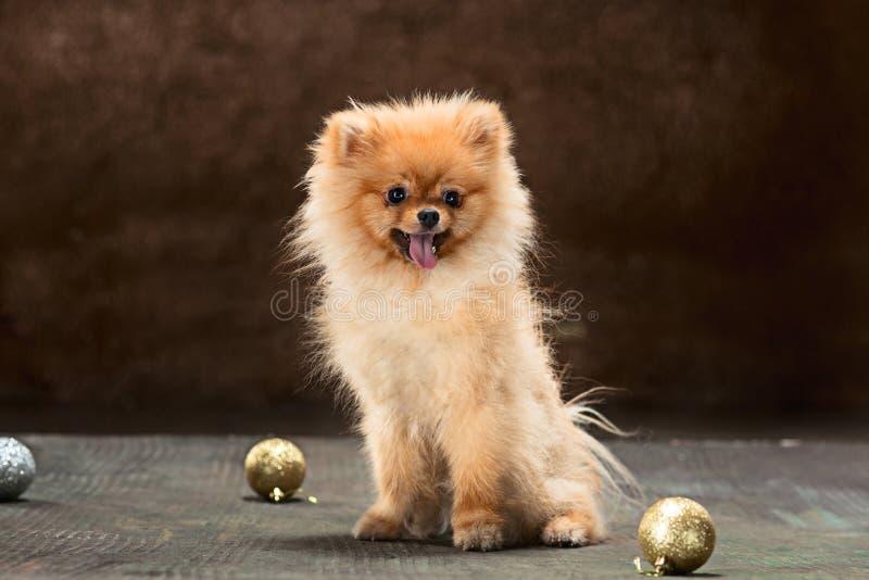 Spitz-chien dans le studio sur un fond neutre photographie stock