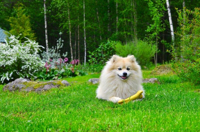 Spitz d'Allemand de chien images libres de droits