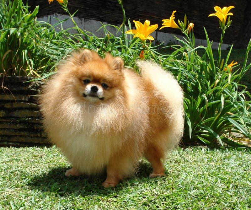 Spitz de Pomeranian photographie stock libre de droits