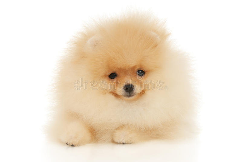 Spitz de Pomeranian foto de stock royalty free