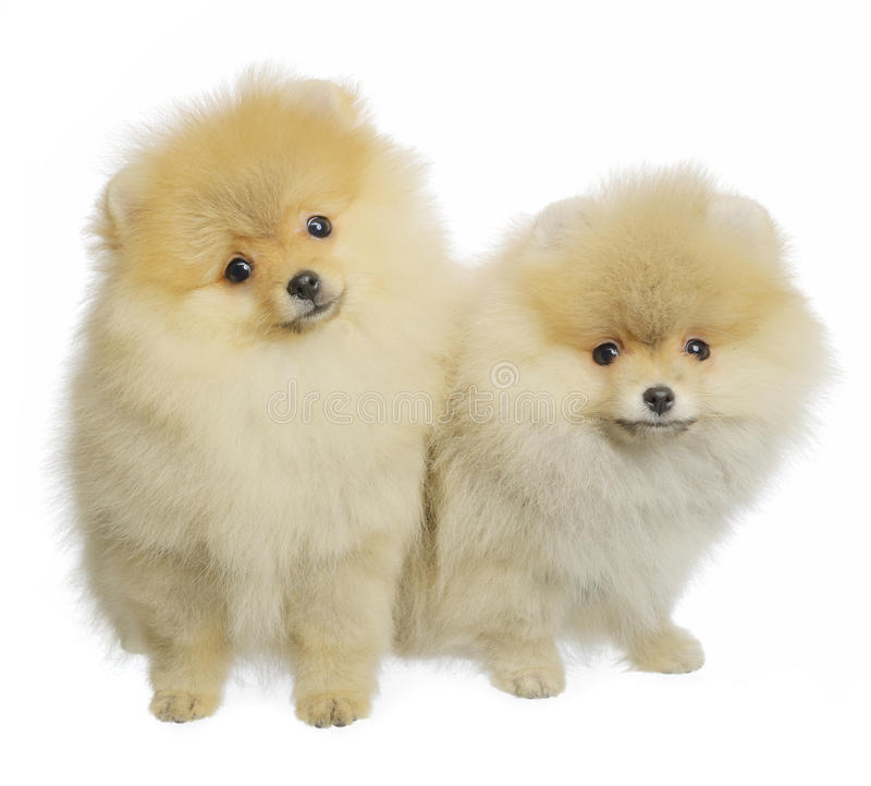 Spitz de Pomeranian fotos de stock royalty free