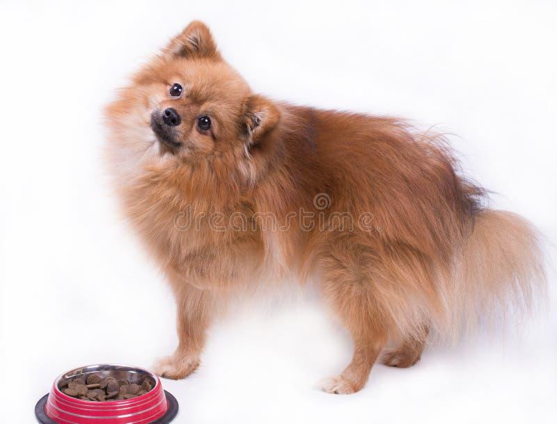 Spitz de Pomeranian que come o alimento imagens de stock royalty free