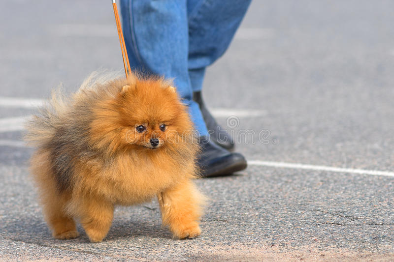 Dog Spitz Close-up. Spitz is a decorative breed of dogs. small dog runs on a leash next to the owner. Space under the text. 2018 year of the dog in the eastern royalty free stock photos
