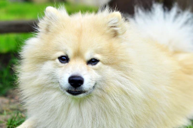 Spitz do alemão do cão fotografia de stock royalty free