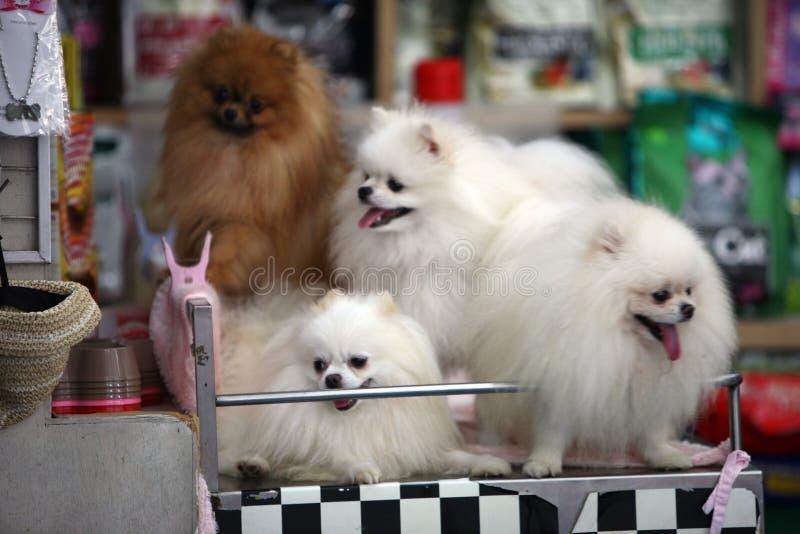 Spitz-dog. Three white spitz-dog in market on a neutral background royalty free stock photo