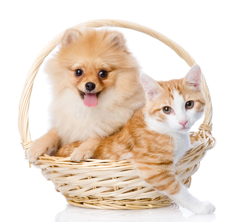 Spitz dog embraces a cat in basket. Looking at camera. isolated stock photo