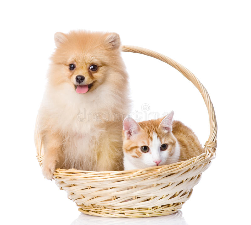 Spitz dog embraces a cat in basket. Looking at camera. isolated royalty free stock photography