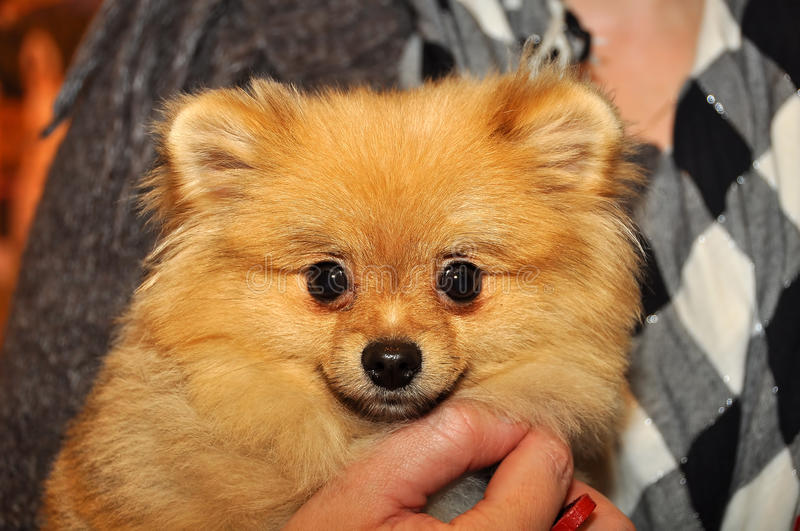 Spitz dog in the hands royalty free stock images