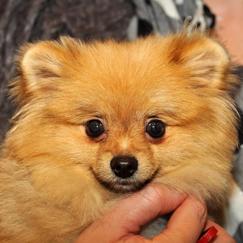 Spitz dog in the hands stock photography