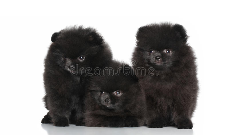 Download Spitz Dog Puppies On A White Background Stock Image - Image: 23299025