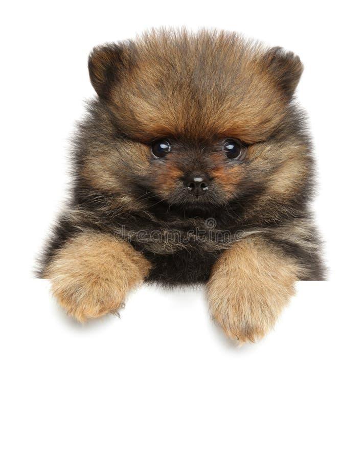 Spitz dog puppy above white banner. stock photography