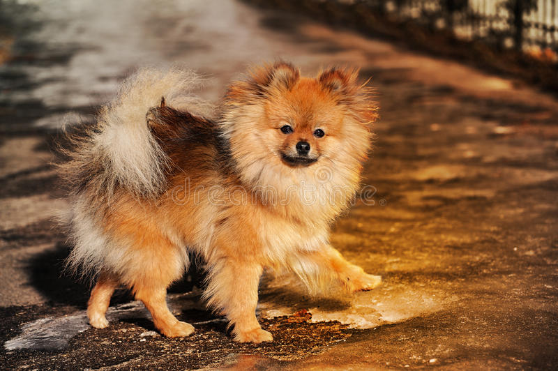 The Spitz,dog,puppy is walking on ice and look to you gravely. Photo made in warm tones stock photo