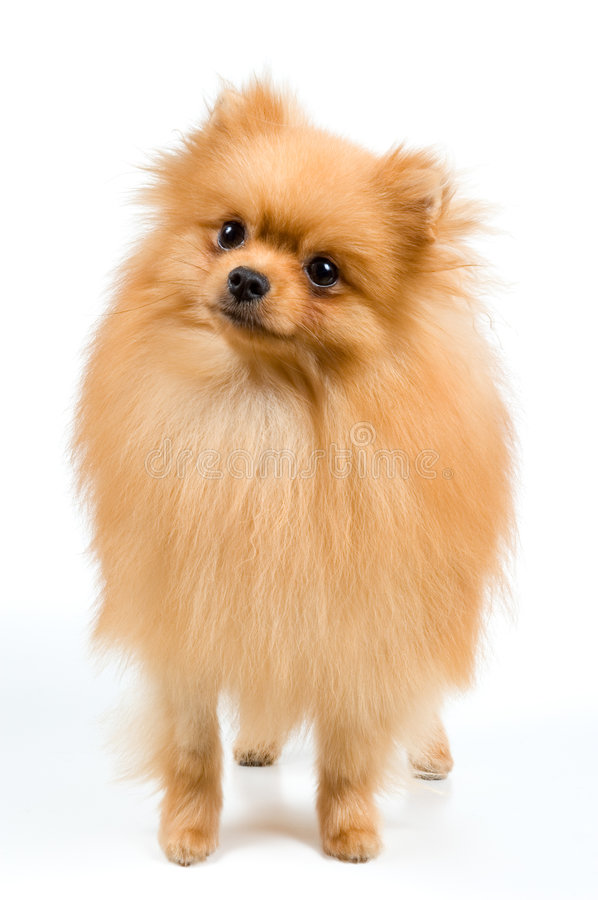Spitz-dog in studio. On a neutral background royalty free stock photography