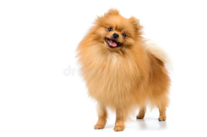 Spitz-dog in studio. On a neutral background stock photos