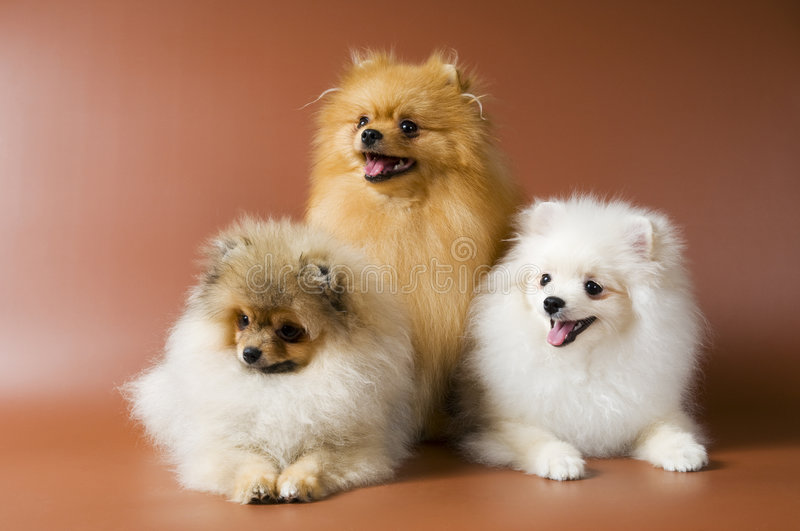 The spitz-dogs in studio. On a neutral background stock photography