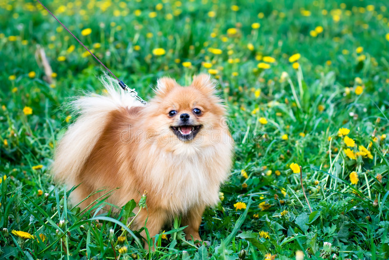 Spitz hond royalty-vrije stock afbeelding