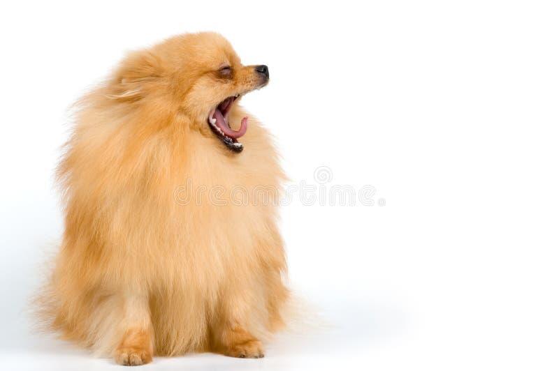 Spitz-hond In Studio Gratis Stock Afbeelding