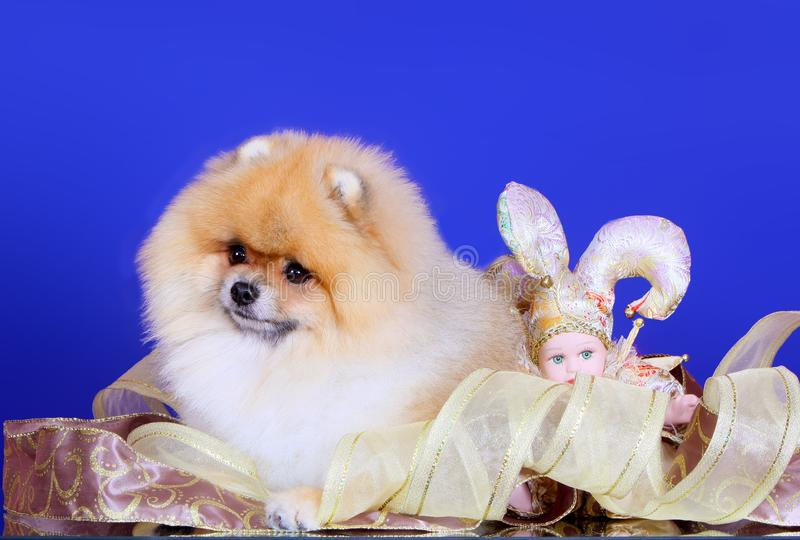 Spitz lies on a blue background. A dog poses with a joke doll and decorative ribbons. stock image