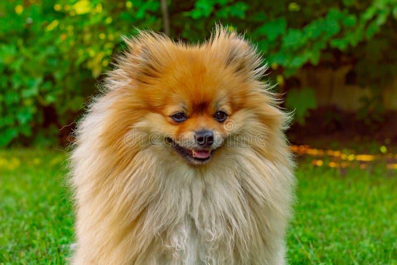 Spitz miedzianowłosy pies w lecie na gazonie w jaskrawym świetle słonecznym obrazy stock