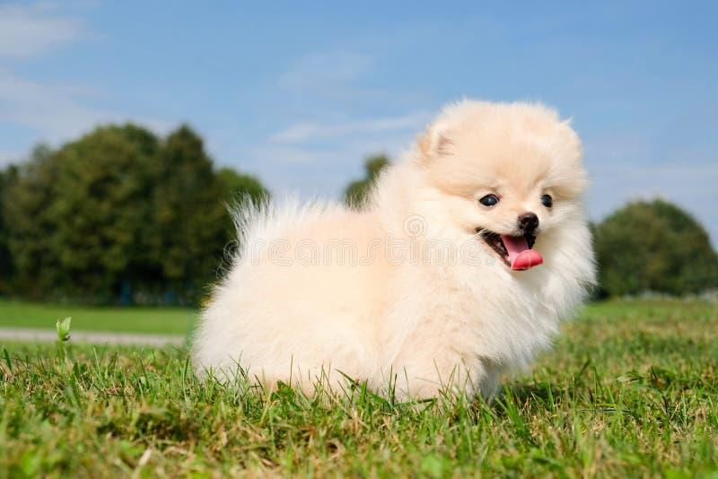 Spitz pomeranian de chien se reposant sur l'herbe en parc public image libre de droits