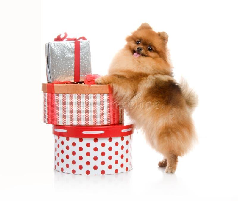 Spitz, Pomeranian dog with gift-boxes stock photo
