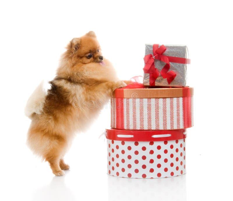Amazing Pomeranian Brown Adorable Dog - spitz-pomeranian-dog-gift-boxes-26775168  2018_292085  .jpg