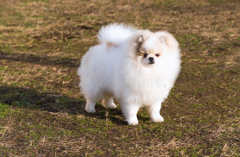 Spitz, Pomeranian right. stock images