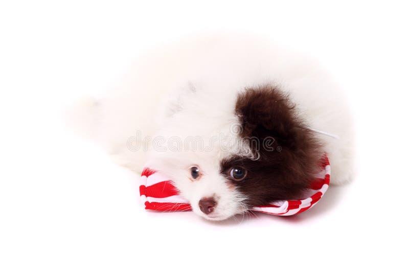 Spitz puppy royalty-vrije stock foto